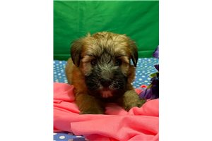 Miss Delilah - Soft Coated Wheaten Terrier for sale