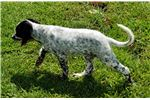 Picture of Birdy - Female English Setter Puppy