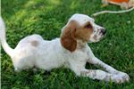 Picture of Lemon - Female English Setter Puppy