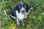 Picture of Mud - Female English Setter Puppy