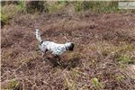 Picture of Cotton - Male English Setter Puppy