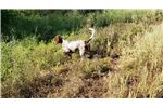 Picture of Quail - Male English Setter Puppy