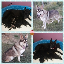 View full profile for Tipi S Ranch's German Shepherds