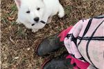 Picture of Warlock the Berger Blanc Suisse Puppy