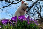 Picture of a Berger Blanc Suisse Puppy