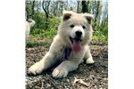 Picture of Colossus the Cuddlebug - Berger Blanc Suisse Pup!