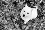 Picture of Boom Boom the Female Berger Blanc Suisse Puppy