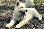 Picture of Rogue the Berger Blanc Suisse Puppy