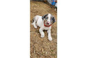 Catahoula Leopard Dogs for sale