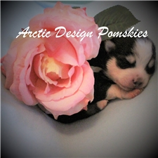 View full profile for Arctic Design Pomskies