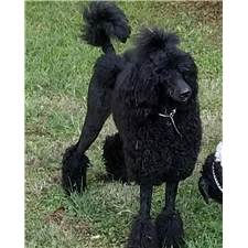 View full profile for A & A Standard Poodles