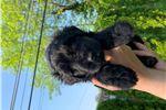 Picture of New born AKC Bouvier Des Flandres puppy