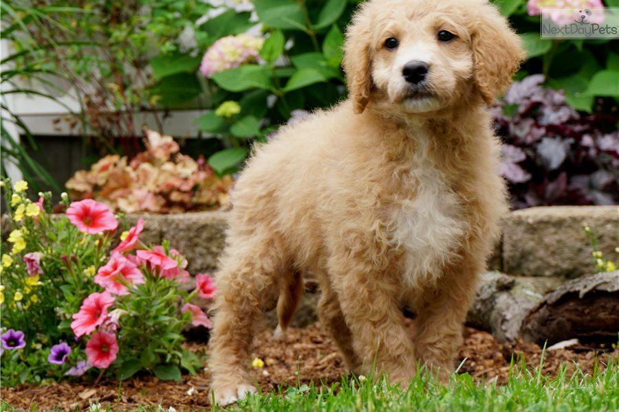 Fluffy Goldendoodle Puppy For Sale Near Fort Wayne Indiana