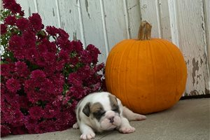 Tater Tot - English Bulldog for sale