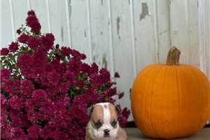 Popeye - English Bulldog for sale