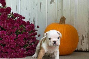 Kayli - English Bulldog for sale