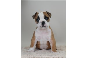 roscoe | Puppy at 8 weeks of age for sale