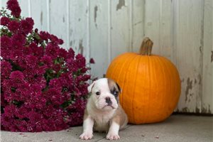 Sadie - English Bulldog for sale