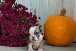 Freya - English Bulldog for sale