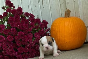 Polly - English Bulldog for sale