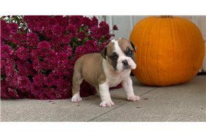 Corey - English Bulldog for sale