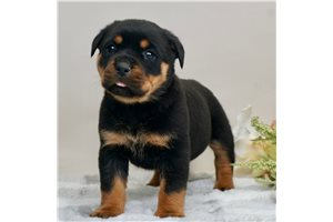 Cecil - Rottweiler for sale
