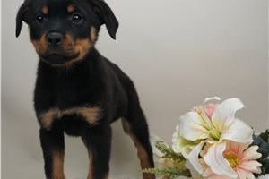 Dino - Rottweiler for sale