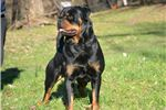 Picture of AKC KLAUSE HUGE CHAMPION SIRED GERMAN ROTTWEILER