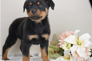 Cholo - Rottweiler for sale