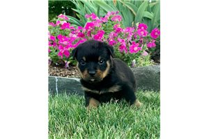 Bronx - Rottweiler for sale