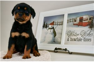 Merry - Rottweiler for sale
