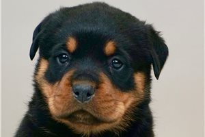 Doughboy - Rottweiler for sale