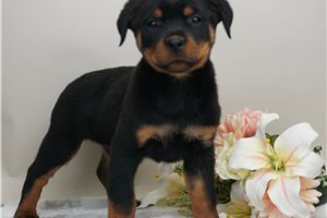 Geode - Rottweiler for sale