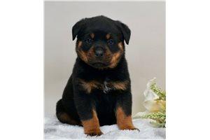Traveler - Rottweiler for sale