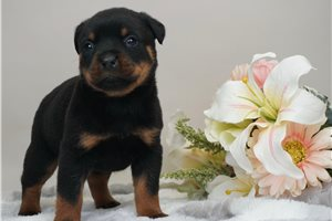 Niko - Rottweiler for sale