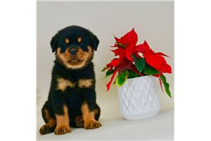 Rory - Rottweiler for sale