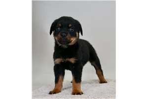 Icey - Rottweiler for sale