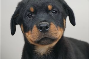 Stan - Rottweiler for sale