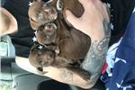 Picture of Pitbull male puppy $100