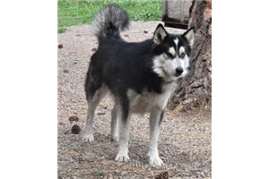 Alaskan Malamute Puppies For Sale From Reputable Dog Breeders