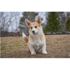 View full profile for Corgi Bliss Pembroke Welsh Corgis