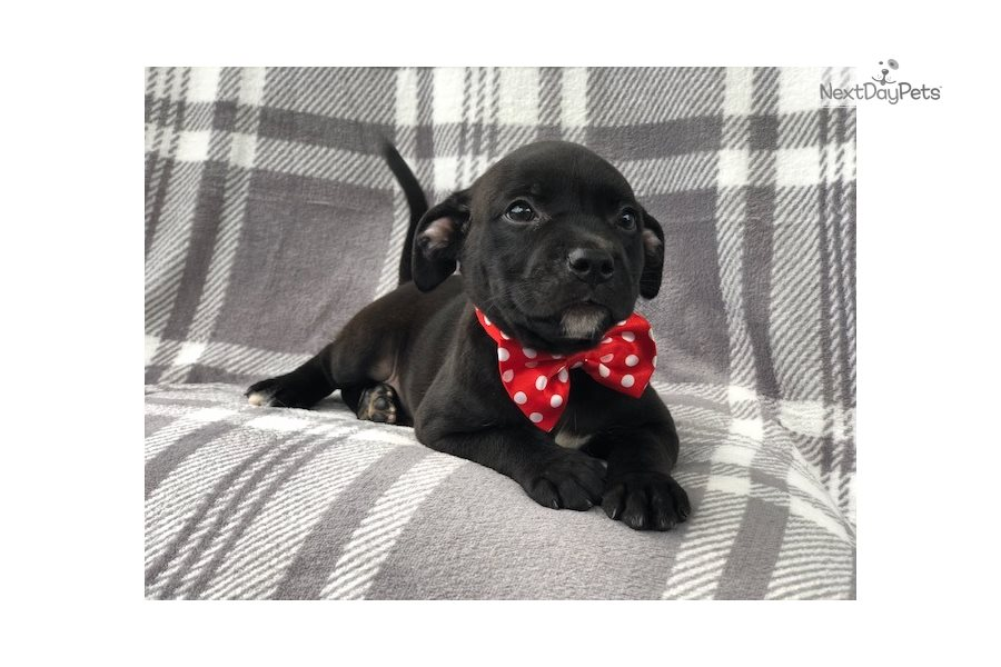 Nacho: American Pit Bull Terrier puppy for sale near ...