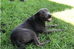 Picture of Princess (Cur pitt terrier mix)