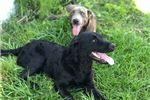 Picture of Ruffles (Cur pitt terrier mix)
