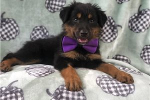 Picture of an English Shepherd Puppy
