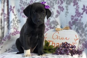 Harley | Puppy at 8 weeks of age for sale