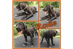 Picture of Roxie - AKC Great Dane