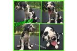 Picture of Jasmine - AKC Great Dane