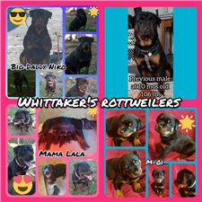 View full profile for Whittaker's Wonderful Rotties