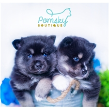 View full profile for Tiny Pomsky Boutique